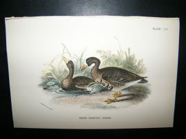 Allen 1890's Antique Bird Print. White-Fronted Goose